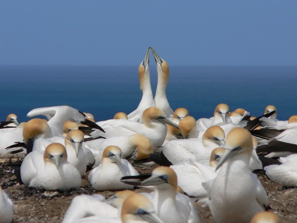 A pair of gannets in courting display when one partner returns.