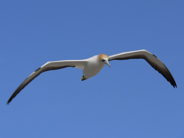 Flying gannet against a typical Hawkes Bay sky.